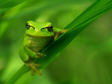 frog - Fine Art prints