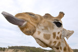 giraffe up close with tongue out poster