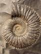 Leinwandbild Motiv ammonite