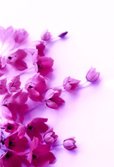 lilac flower border