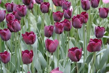 violettes tulpenfeld
