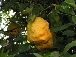 odd lemon