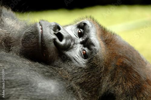 resting ape Poster