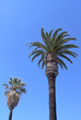 two kinds of palm tree - vertical
