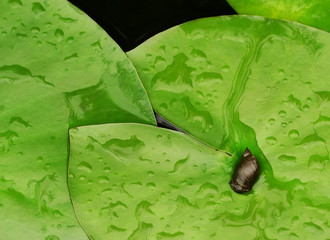 water snail on lily pads