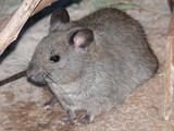 greater stick-nest rat poster