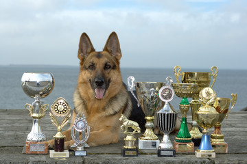 the sheep-dog lays with awards