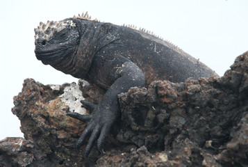 marine iguana isolated on white