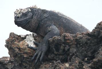 marine iguana isolated on white