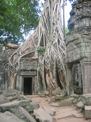 banyan tree over old ruin temple,  ta prohm, bayon, angkor tom,