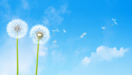 Dmuchawce i niebieskie niebo