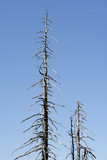 dead trees in big spruce forest #2 poster