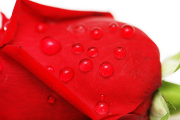 water drops on the rose petals