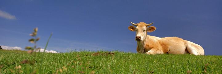 une vache au soleil