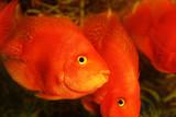 gold fishes aquarium poster