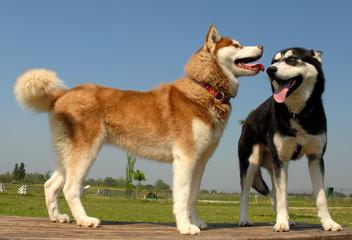 chiens siberiens