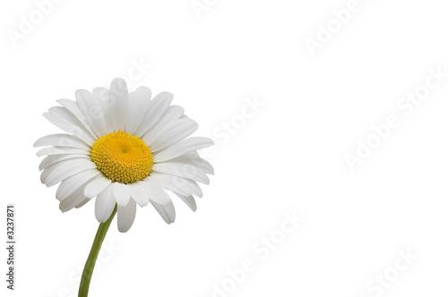 Leinwanddruck Bild weiße margerite