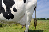 cow with black and white skin poster