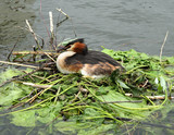 crested grebe poster