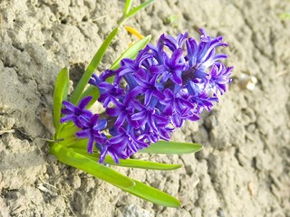 isolated hyacinth