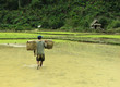 rice field life - asia