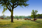 cows pasturing poster