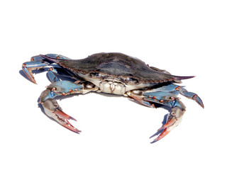 blue crab isolated over white 2