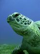 turtle 7986