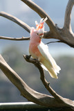 crested pink parrot poster
