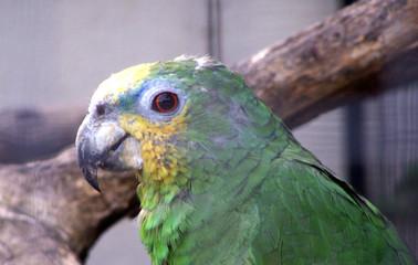 pérroquet vert