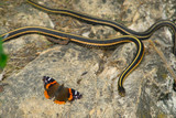 red sided garter snakes and red admiral butterfly poster