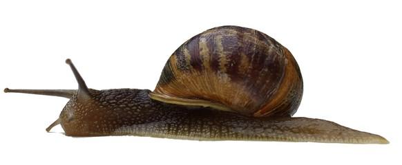 escargot petit gris vu de profil