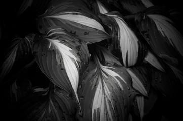 hosta leaves & rain