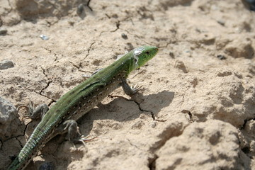 green lizard on the chappy ground.