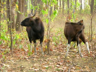 bisons from kanha