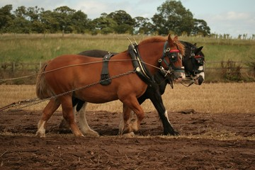 ploughing shire horses
