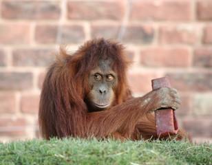 orang playing