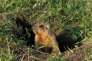 marmot in burrow