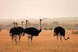 Fototapete Afrika - Grassland - Vögel