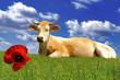 le coquelicot et la vache