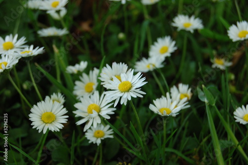 daisy close ups 2