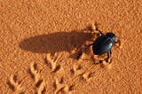 black beetle on the sand poster