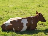 vache...répit alpestre poster