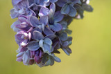 fleur de lilas poster
