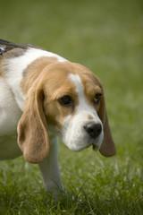 beagle 02
