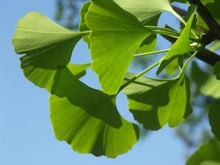 ginko leafs