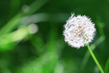 pusteblume - löwenzahn - 3307886