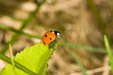 ladybird on green leaf poster