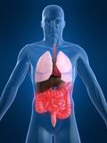 anatomie der organe poster