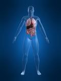 menschliche anatomie poster
